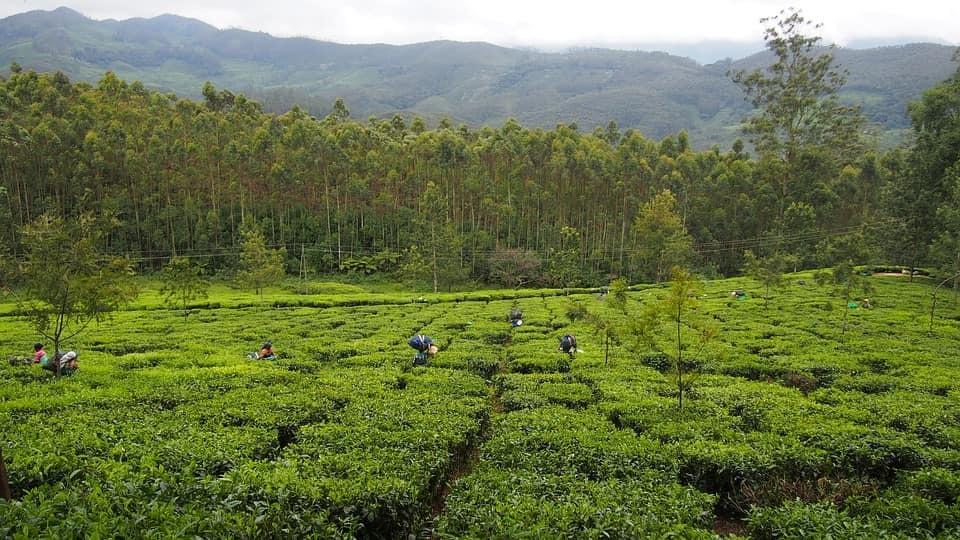Thumb tea plantation kerala