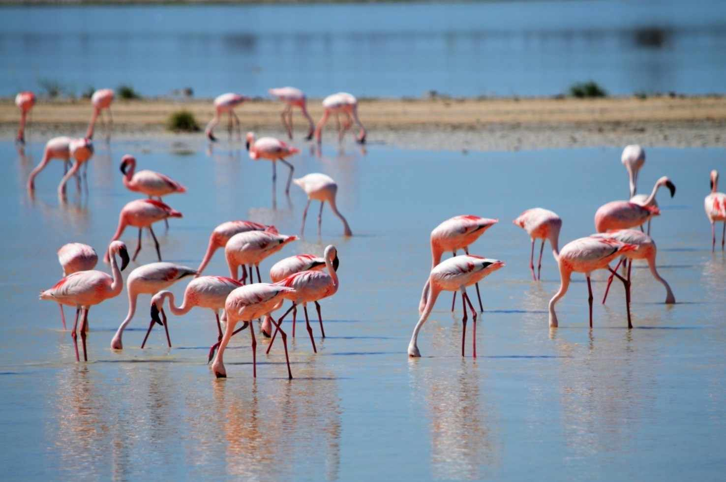 Large flamingos flamingos in the nature pink water drink animal bird africa