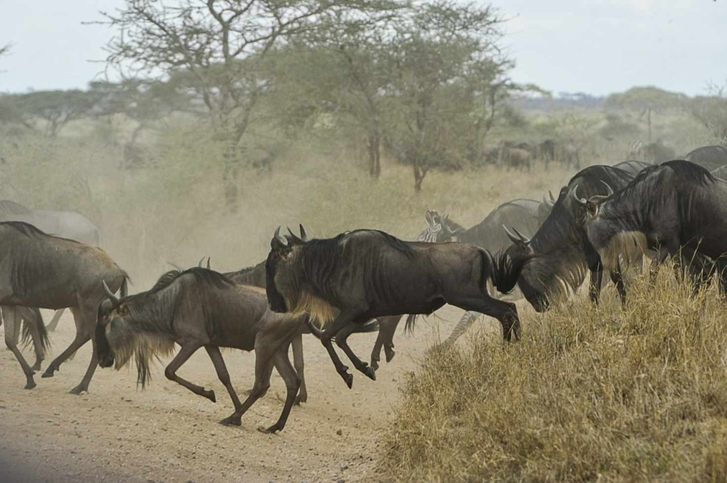 Large wildebeests