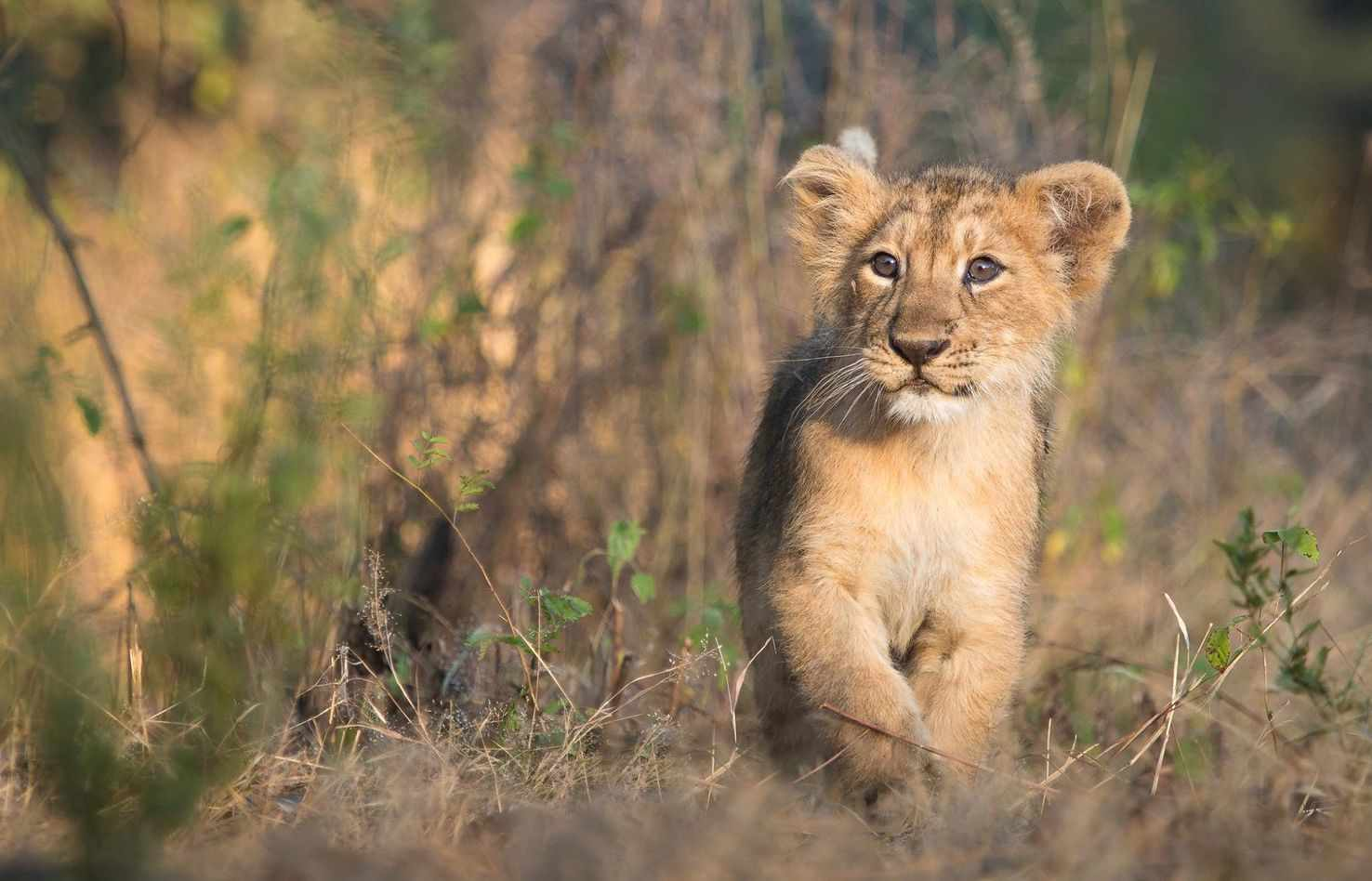 Large asiatic lion cub takes a stroll