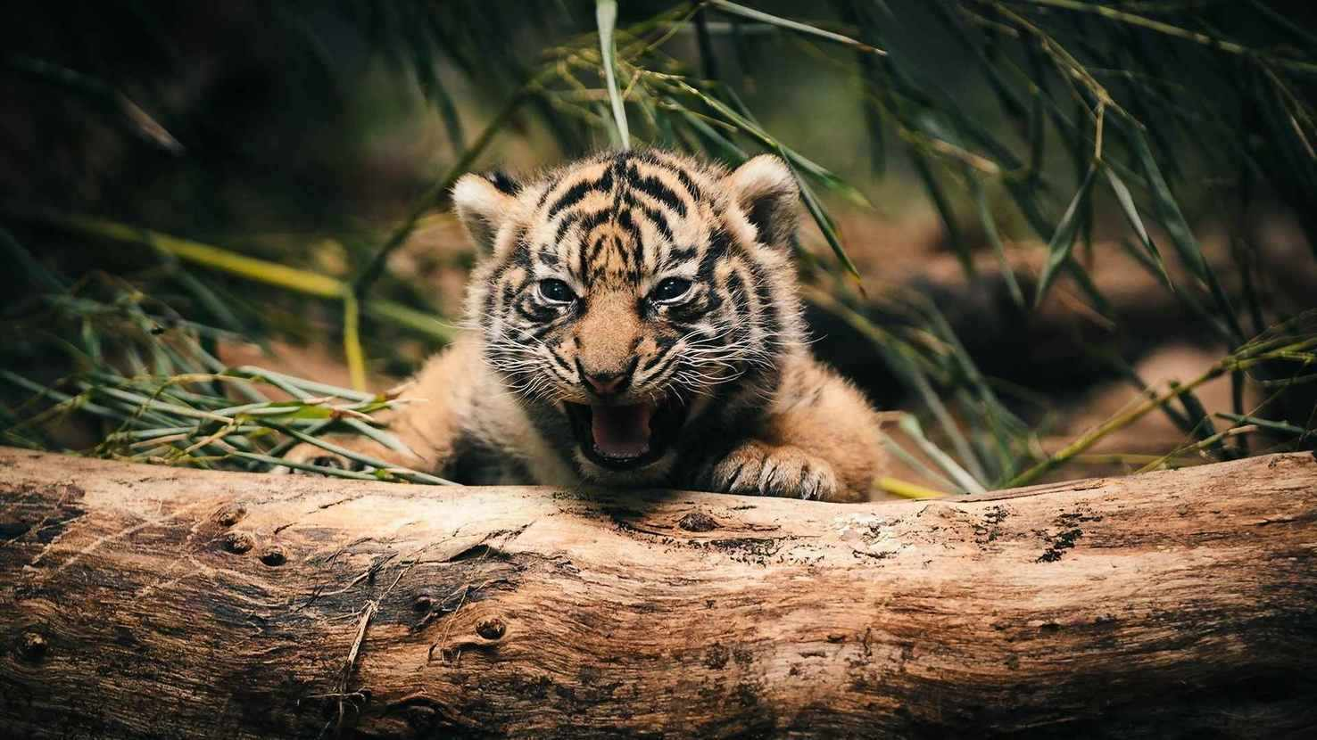 Large 10483 baby tiger cub in trees hd wallpapers 1