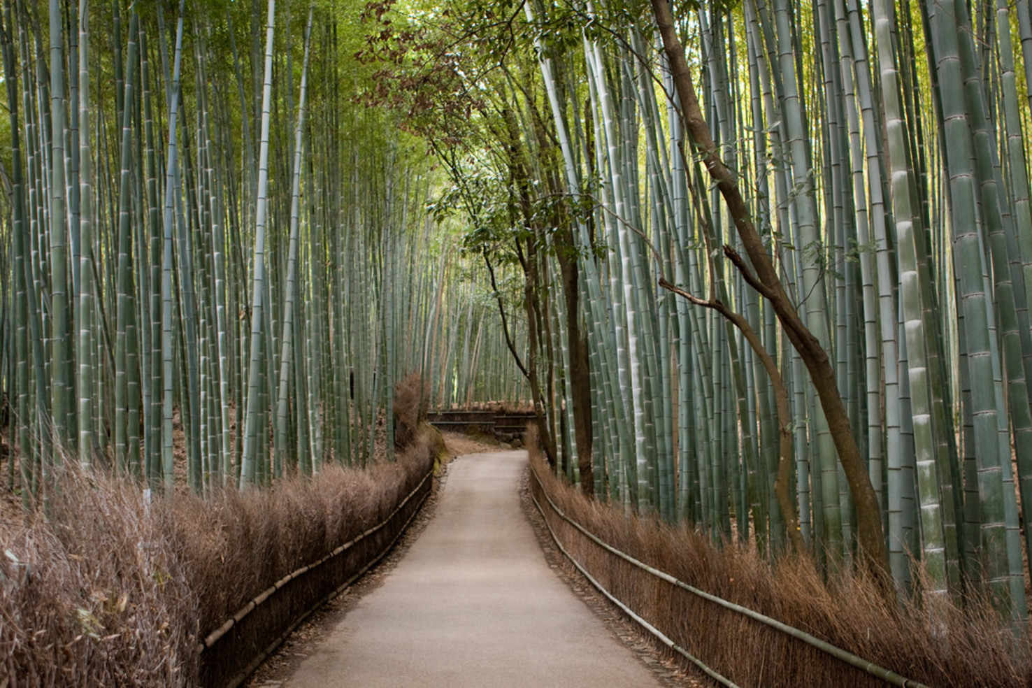 Large kyoto bamboo forest