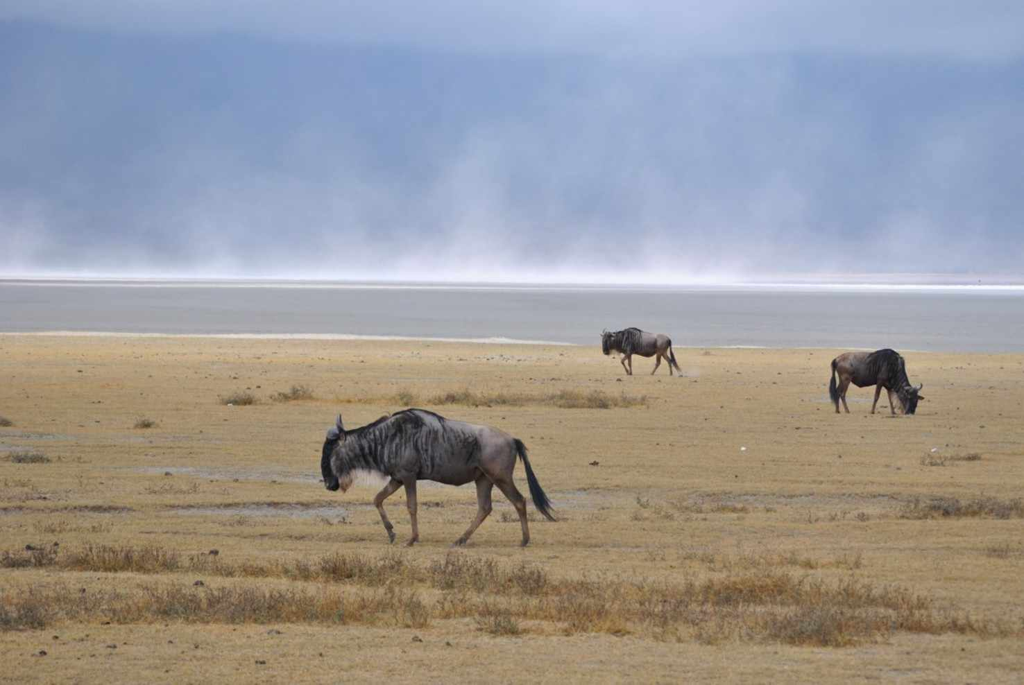 Large ngorongoro crater salt lake gnu wild animals africa national park tanzania