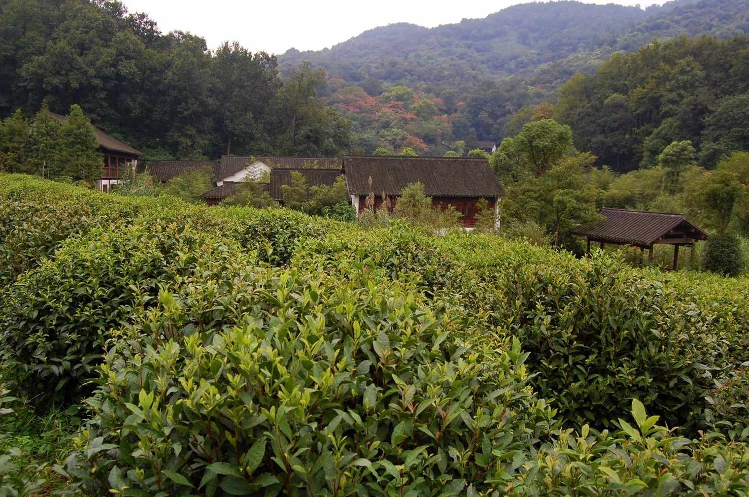 Large longjing in hangzhou