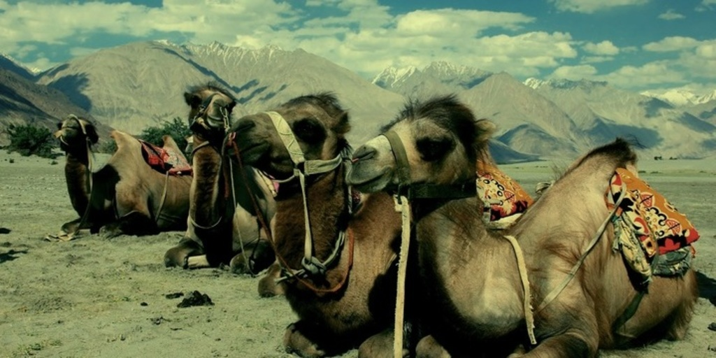 Large camel  journey cart holidays